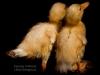 chicks-img_7223